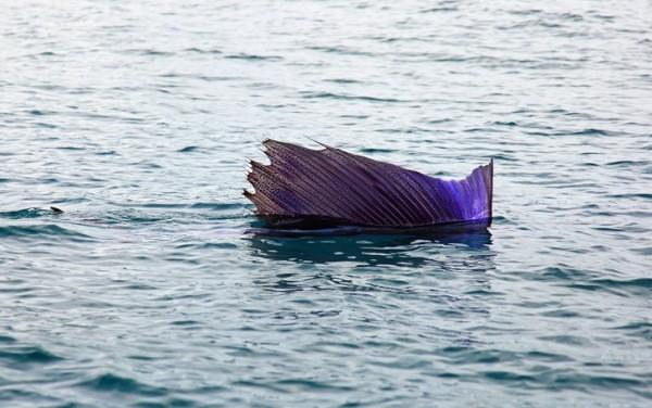 рыба парус