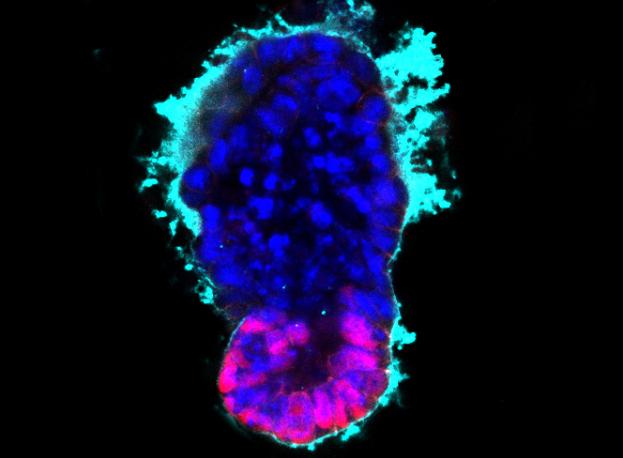 Искусственные эмбрионы